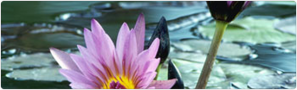 lotus oracle