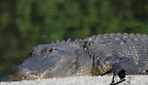 Sunning Alligator, Florida Everglades