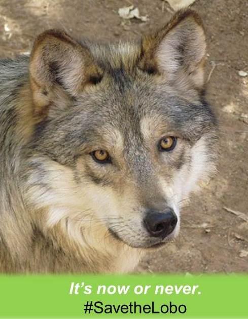 Save the Lobo