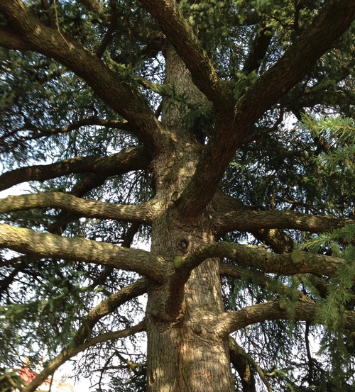 WISE olD CEDAR TREE (1874) AT MOUNT VERNON, VIRGINIA, HOME OF GEORGE WASHINGTON. TAKEN BY ME.
