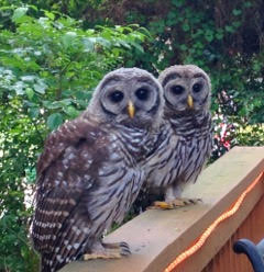 Owls On DECK. TAKEN BY WISE OWL KIM.