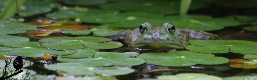 A Green frog enjoys the pond at the Atlanta Botanical Gardens